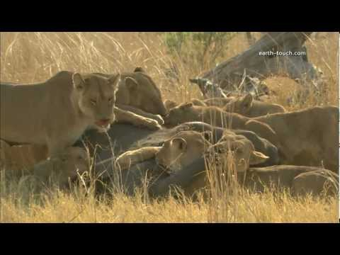 Graphic Content Warning: Lions Eat Elephant Alive