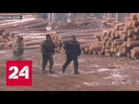 Росгвардию шокировали масштабы действий черных лесорубов - Россия 24