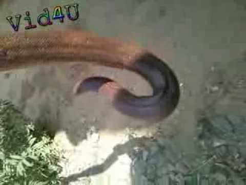 Playing With Snake video
