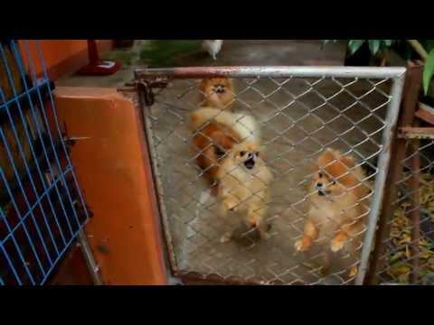 น้องปอมเห่าฮู่ง ๆ น่ากลัวไหม ไม่เลยย by Emmy Gold#58 [HD]