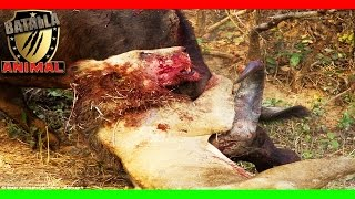 Epica batalla a muerte Leon vs buffalo | Lion vs buffalo epic | Batalla Animal 2016