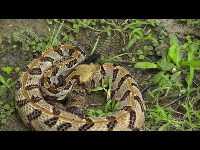 Timber Rattlesnake HD