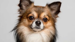 Types of Chihuahuas [Full Length Detailed 2018 Version]