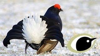 BTO Bird ID - Grouse
