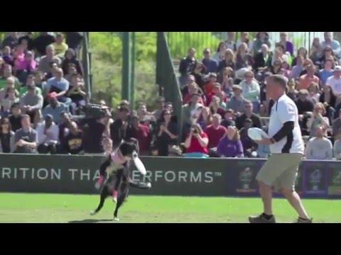 犬のアジリティー障害物競争神業映像