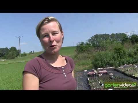 Kleine Stauden Für Steingärten, Grabbepflanzungen Und Minigärten