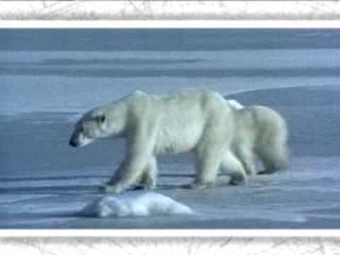 Polar bear - victim of climate change