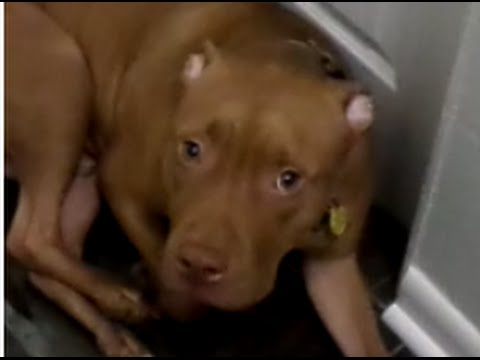 Pit Bull Guilty Dog in Trouble -- That sad adorable face!