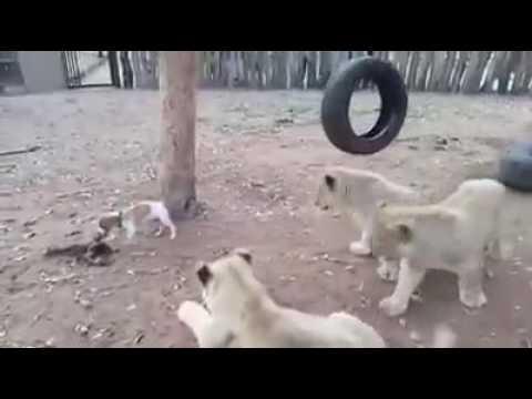 Śmieszne Psy Filmy - Zabawny Pies Vs Lwa