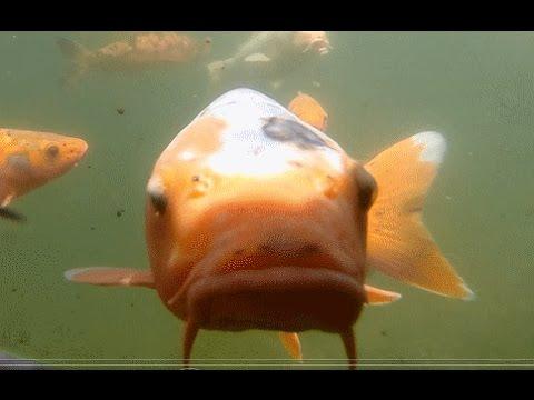 Curious Koi Carp / Fish In Pond ( Garden Castle Garten Schloss Trauttmansdorff 鯉 )