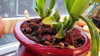 Orquidea Cattleya enferma, actuar inmediatamente
