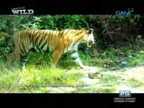 Born to be Wild: A Sumatran tiger cub, caught on camera