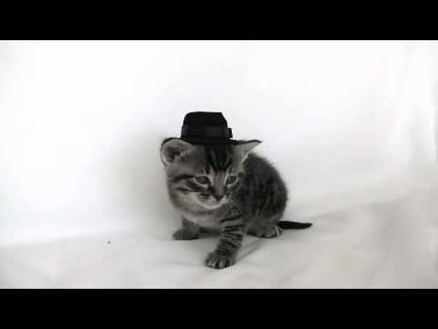 Kittens Wearing Top Hats Kitten Wearing a Tiny Hat Gets
