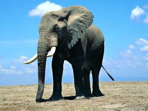 Видео со слоном, который любит наводить порядок, взорвало интернет