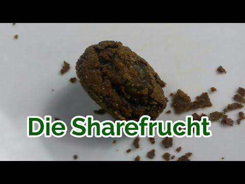 Share Frucht | Share fermentierte Pflaume aus der TCM | Darmgesundheit | fermentierte Frucht