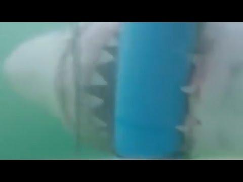 Акула проникла в клетку к дайверу