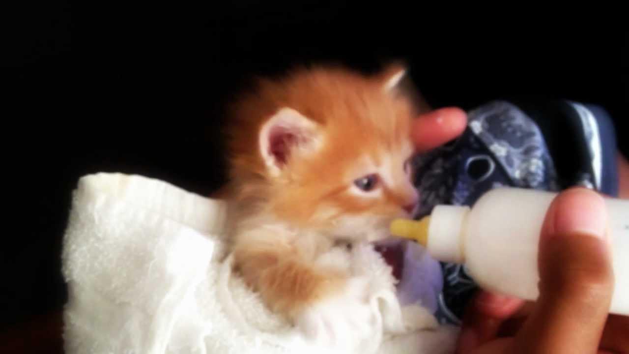 The Cutest Orange Tabby Kitten Bottle Feeding Longhaired