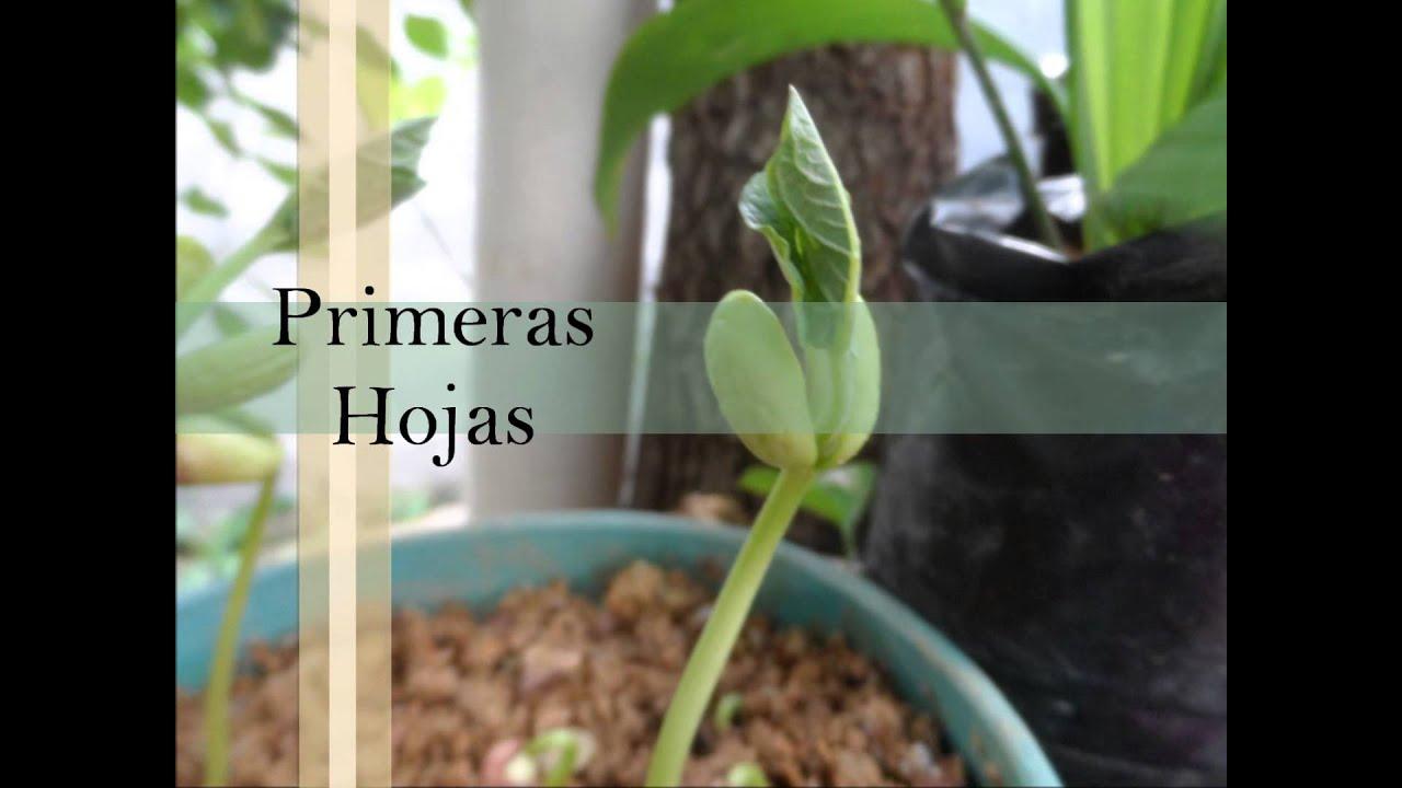 Secuencia de crecimiento frijol ma z tomate youtube for Sembrar maiz y frijol juntos