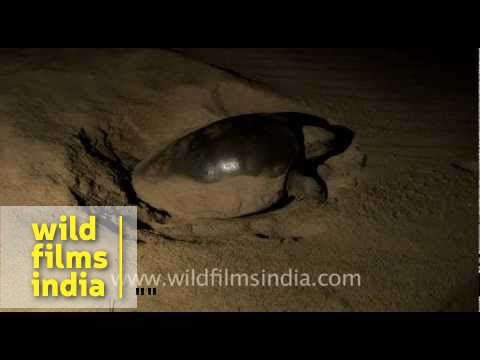 Olive Ridley sea turtle digging a nest