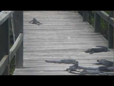 Marine Iguanas outside Puerto Villamil