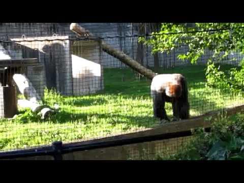 八木山動物園 ゴリラのドン 土投げ
