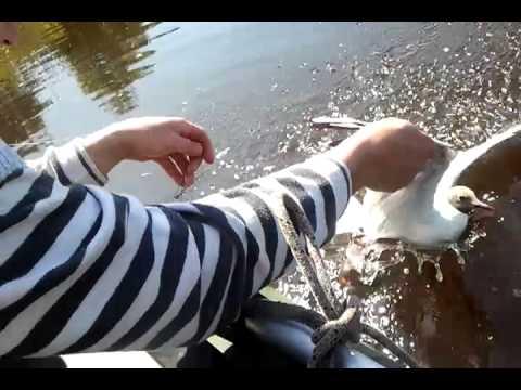 чайка охота рыбалка