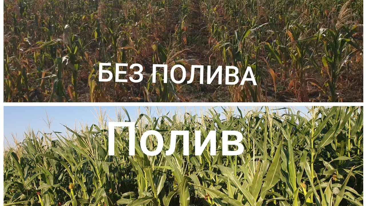 Анекдот Про Кукурузное Поле