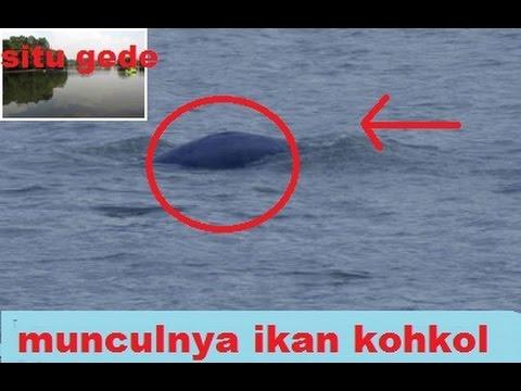 NEWS terekam penampakan ikan KOHKOL (situ gede) 4 desember 2016