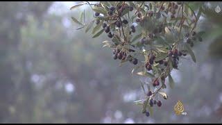 التونسيون يأملون أن تتصدر بلادهم في إنتاج الزيتون