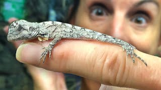 HATCHING MORE BABY FRILLED DRAGONS!! GIANT ALLIGATOR WRANGLING!! | BRIAN BARCZYK