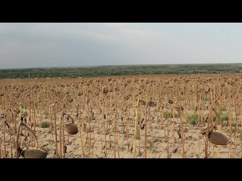 Sunflower Field Affected By Drought stock footage