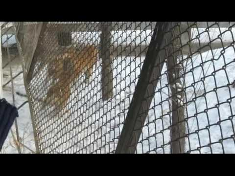 Harbin, China - Siberian Tiger Park - Tiger gets Live Chicken.avi