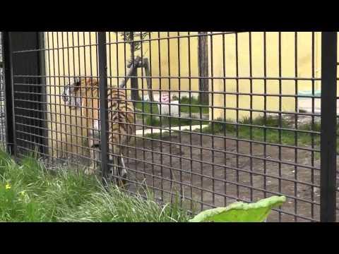 2011年5月22日 釧路市動物園 アムールトラ ココアの往復歩き