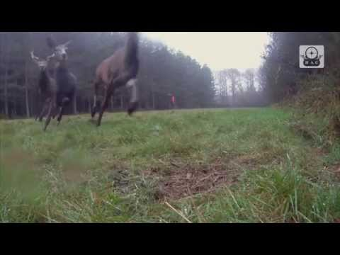 """Extrait """"Chasse aux chiens courants - Hunting with hundred of dogs"""""""