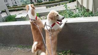 DOG EXCERCISE || DOG VIDEOS || DOG PROTECTS OWNER || FEARLESS DOG || SAVES LIFE || TUFFY AND LILY.