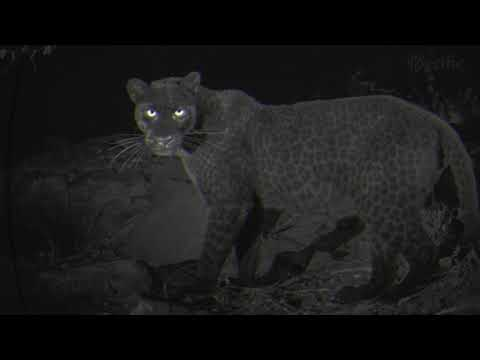 Rare black leopard spotted in Laikipia for first time in a 100 years | Kenya news today