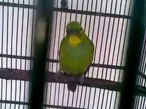 Cucak Ijo Muda Rajin Ngeriwik Bakalan Jantan video
