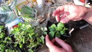 How to Seed Start Stevia and Transplant It: Super Sweet & Super Hard to Germinate - MFG 2014