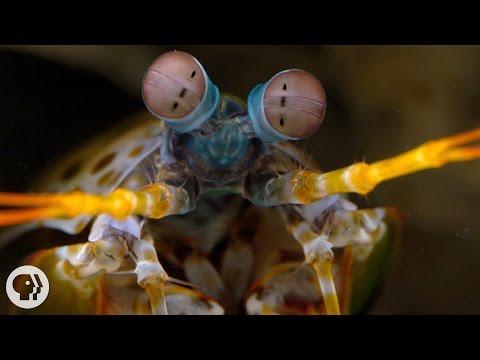The Snail-Smashing, Fish-Spearing, Eye-Popping Mantis Shrimp