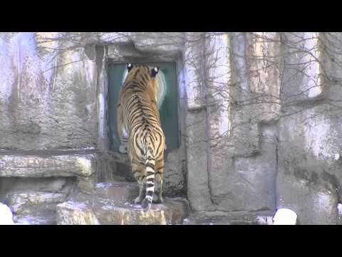 今日のリング太鼓(円山動物園 アムールトラ)