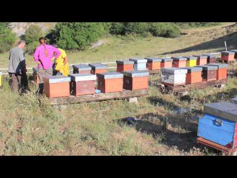 Colony Collapse Disorder and the WSU Honey Bee Genome Repository