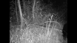 Trail Cam, Black Bear, Southern Oregon