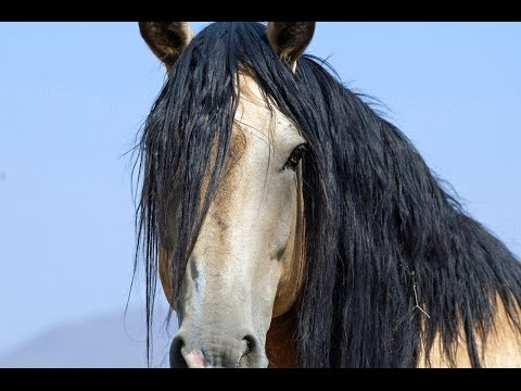 Wild Mustangs PBS Documentary Untamed Legacy