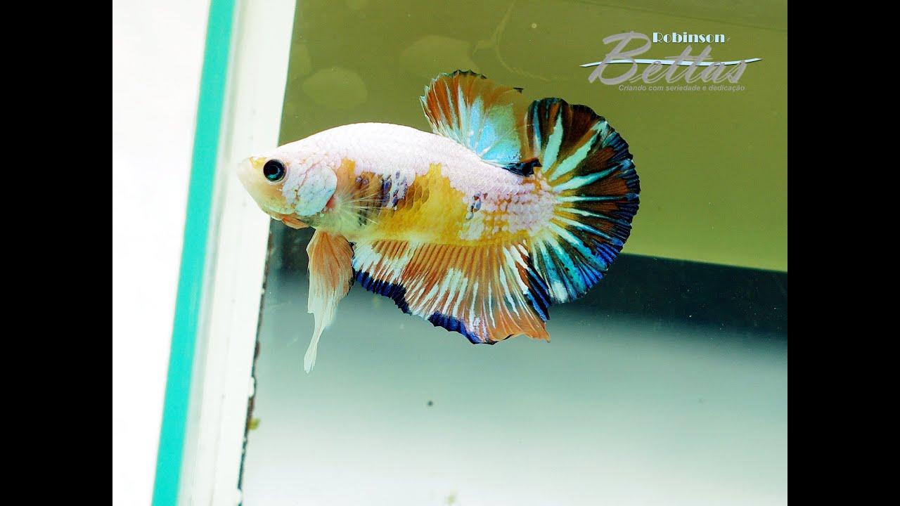 Betta fancy orange koi hm pk male youtube for Male koi fish
