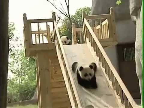 funny pandas new. Панды съезжают с горки. Смешные панды.