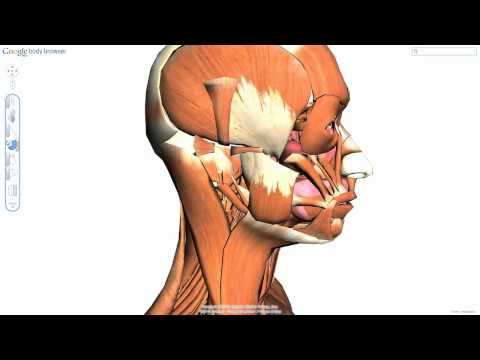 Возрастная анатомия и