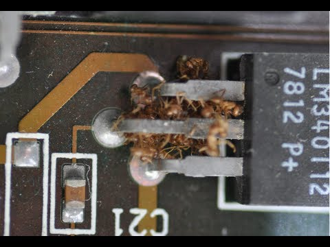Crazy Ants Want to DESTROY Your Electronics