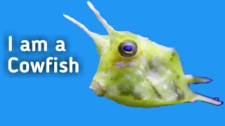 Longhorn Cowfish | Swimming and Eating Algea