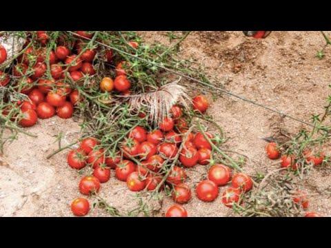 Affordable Farming: Western Sahara farmers create cheaper, organic animal feed