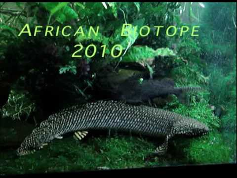 Ornate bichir african jungle biotope youtube for African rope fish